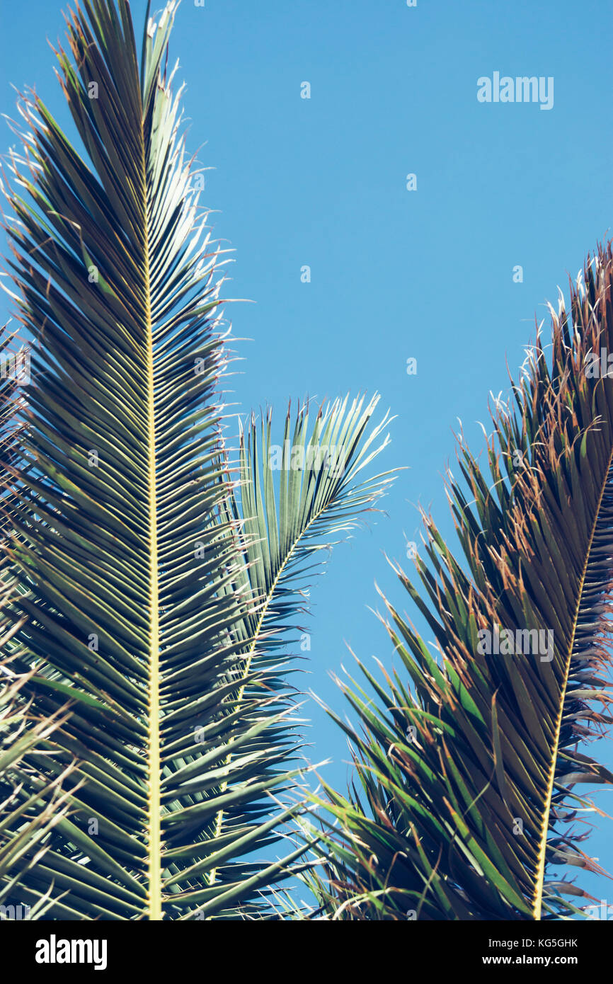 palm fronds in front of glorious blue sky, - Stock Image