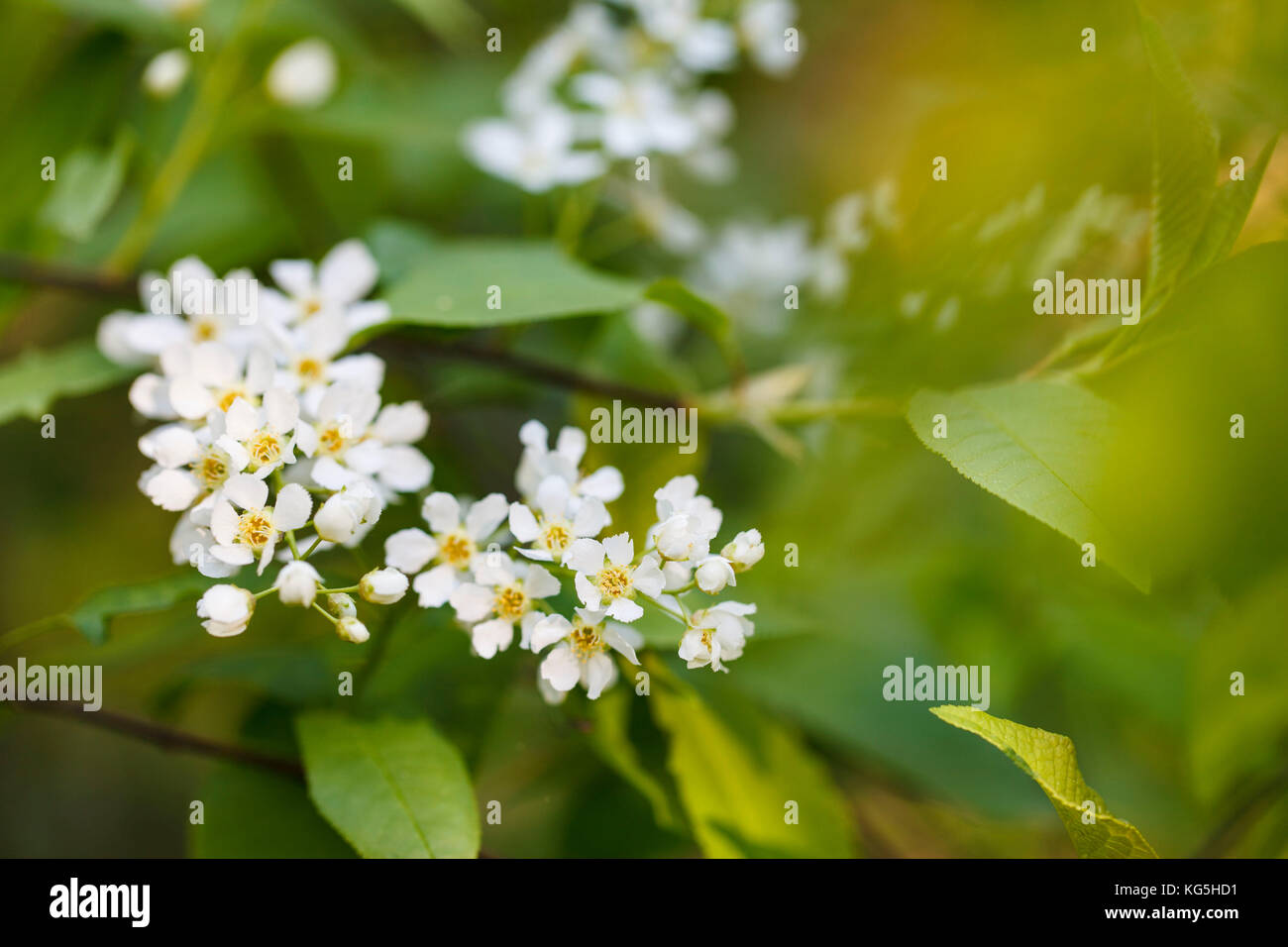 bird cherry, Prunus padus, twig, blossoms - Stock Image
