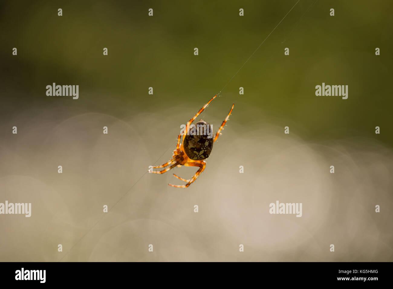 Araneus diadematus, Cross Orbweaver - Stock Image