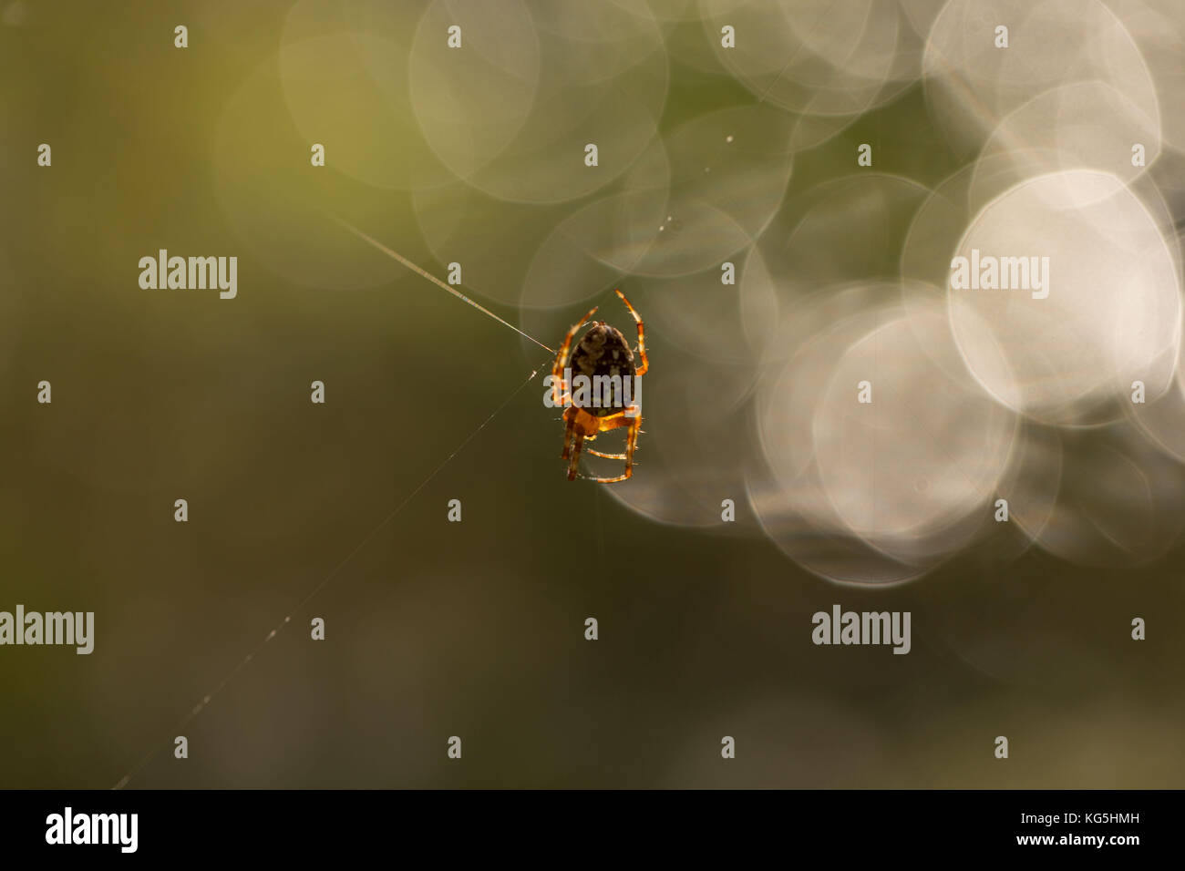 Araneus diadematus, Cross Orbweaver Stock Photo