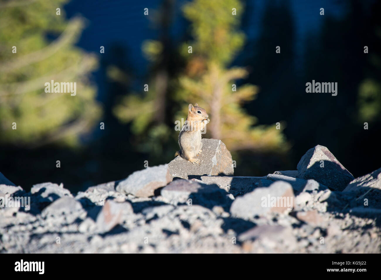 Chipmunk ( Sciuridae) in the Crater lake National Park, Oregon, USA - Stock Image
