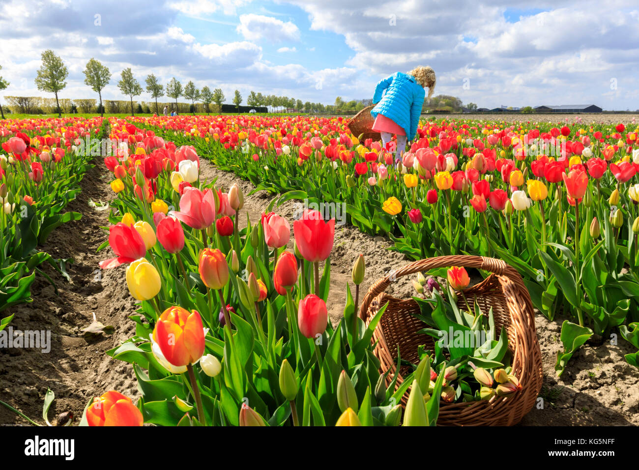Girl collects the multicolored tulips during spring Yerseke Reimerswaal province of Zeeland Holland The Netherlands - Stock Image