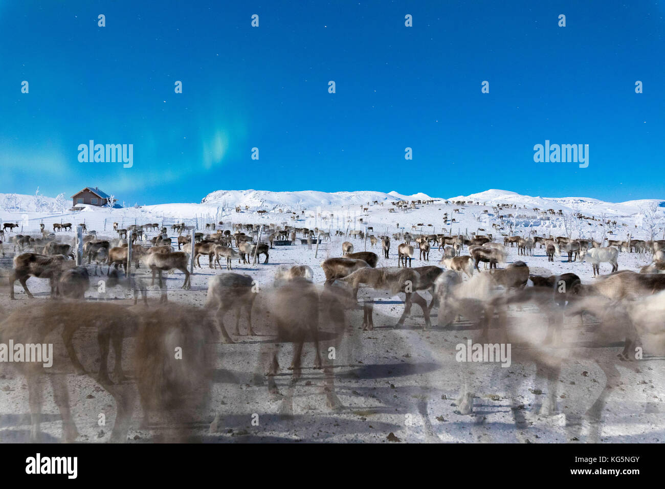 Flock of reindeer under Northern Lights, Abisko, Kiruna Municipality, Norrbotten County, Lapland, Sweden - Stock Image