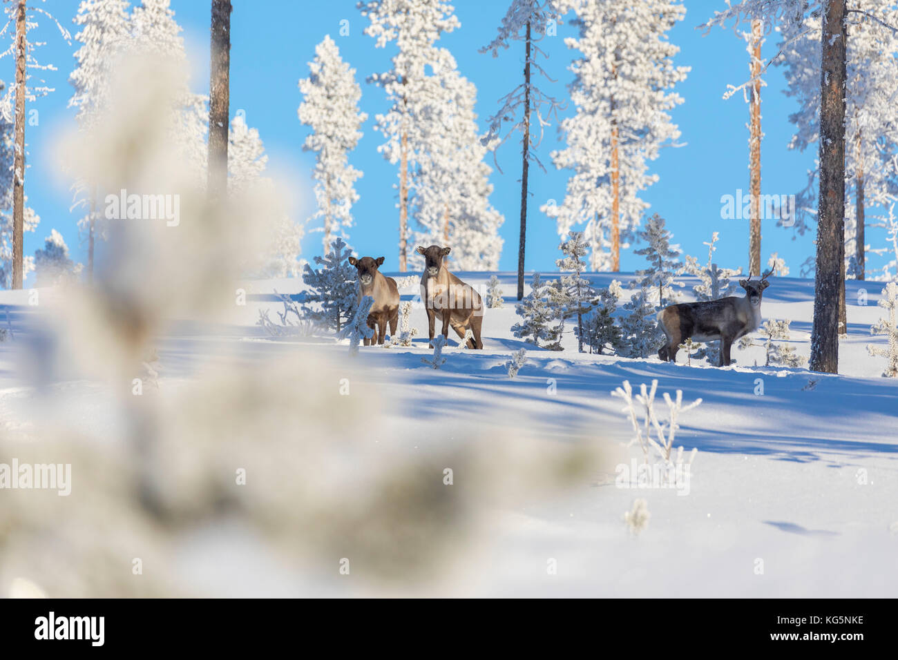 Reindeer among frozen trees in the snowy forest, Kiruna, Norrbotten County, Lapland, Sweden - Stock Image