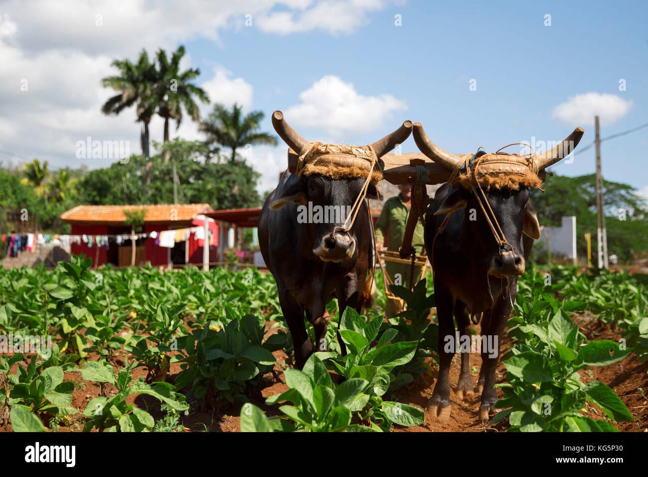 Cuba, Republic of Cuba, Central America, Caribbean Island. Havana district. Tobacco farm in Pinal dal Rio, cow, - Stock Image