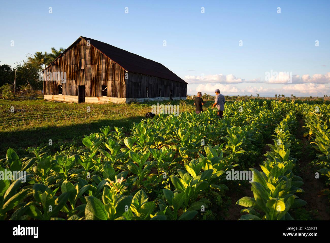 Cuba, Republic of Cuba, Central America, Caribbean Island. Havana district. Tobacco farm in Pinal dal Rio, man, - Stock Image
