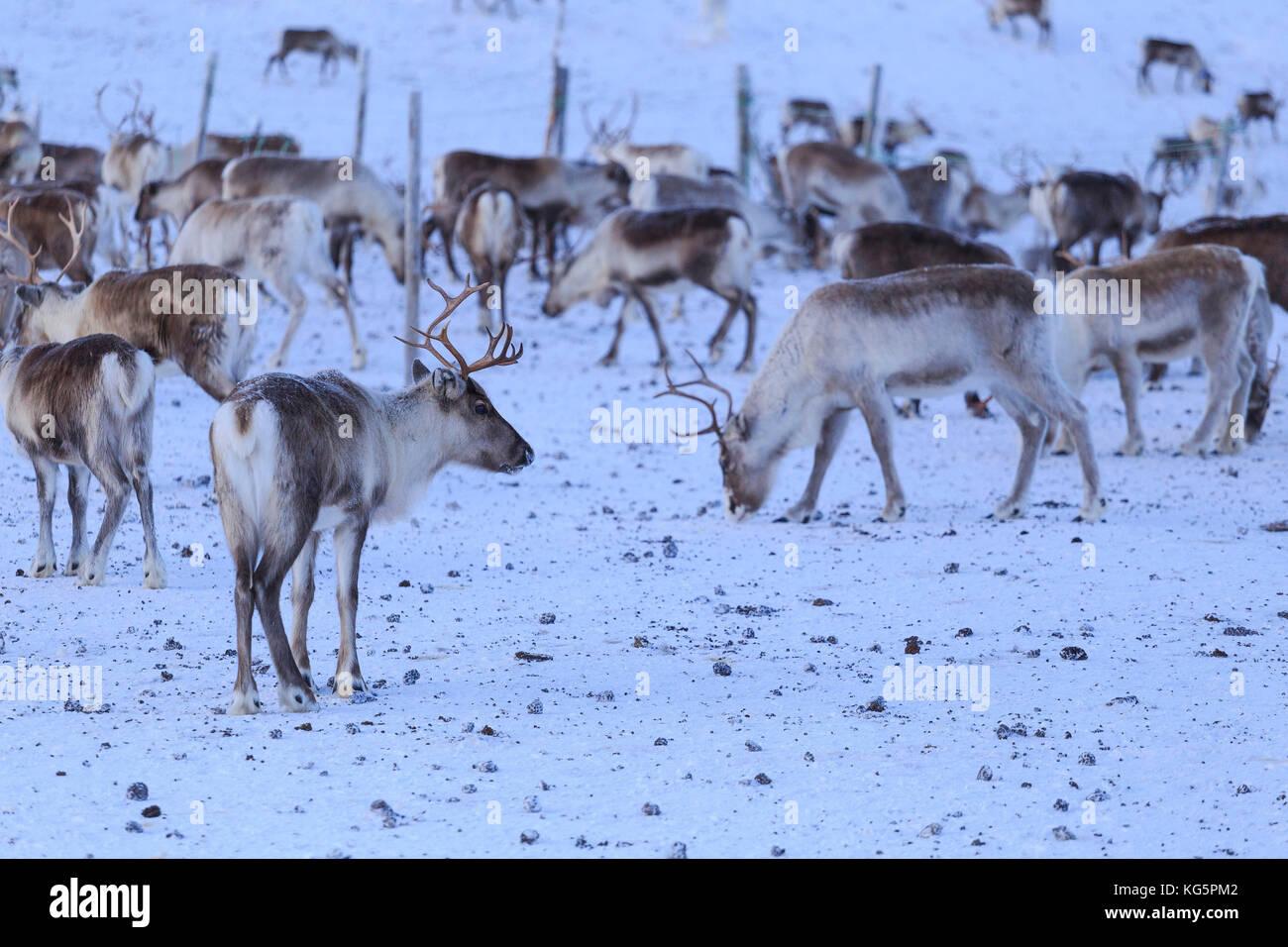 Reindeer grazing. Riskgransen, Norbottens Ian, Lapland, Sweden, Europe - Stock Image