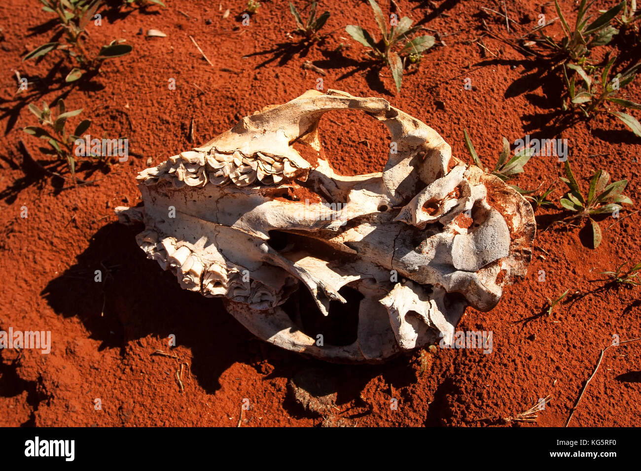 Skull on red sand Australia - Stock Image