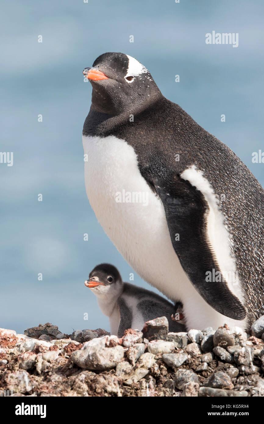 Gentoo Penguin and Chick on nest, portrait, Yankee Harbor, Antarctica - Stock Image