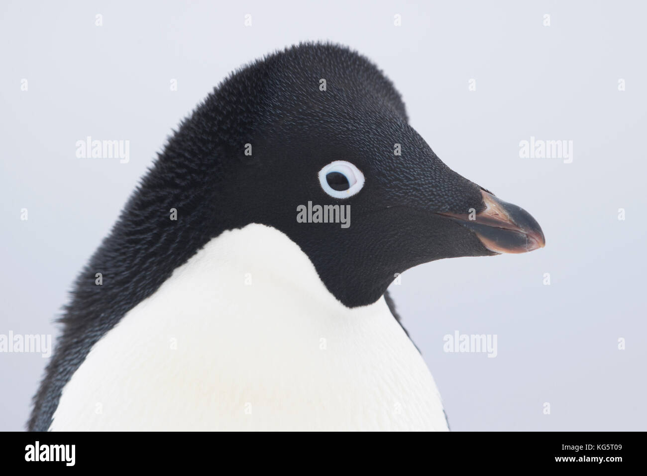 Close up of Adelie Penguin, Antarctica - Stock Image