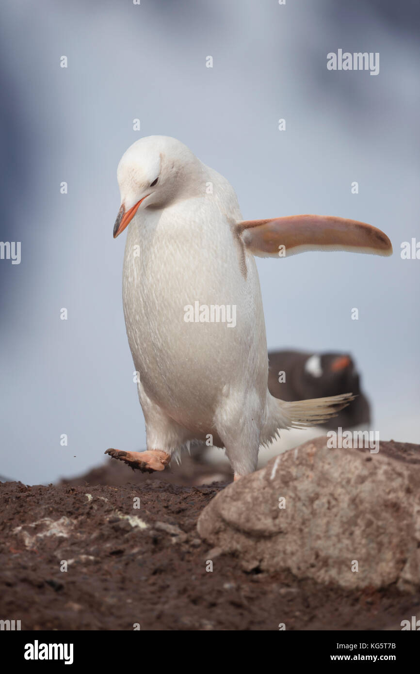 Gentoo Penguin with Leucism, Antarctic Peninsular - Stock Image