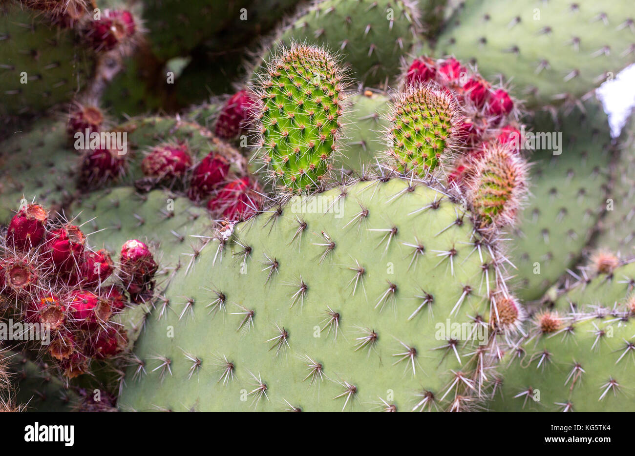 Prickly pear cactus close up with fruit in red color, cactus spines. - Stock Image