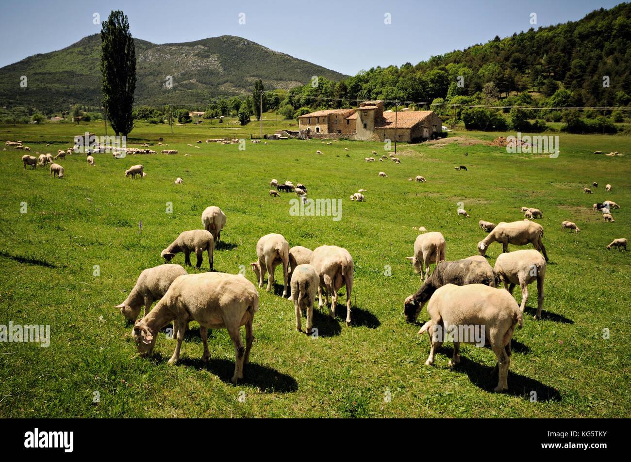 Sheeps and Provencal farm in La Palud-sur-Verdon, Alpes-de-Haute-Provence, France Stock Photo
