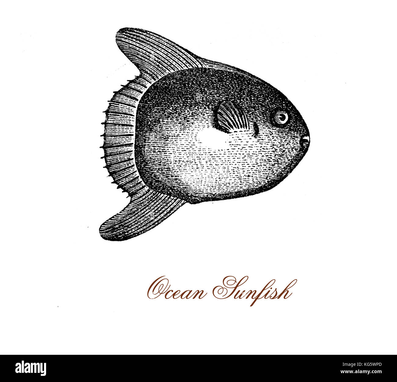 vintage engraving of ocean sunfish or common mola, bony fish native of tropical waters.It resembles a fish head - Stock Image