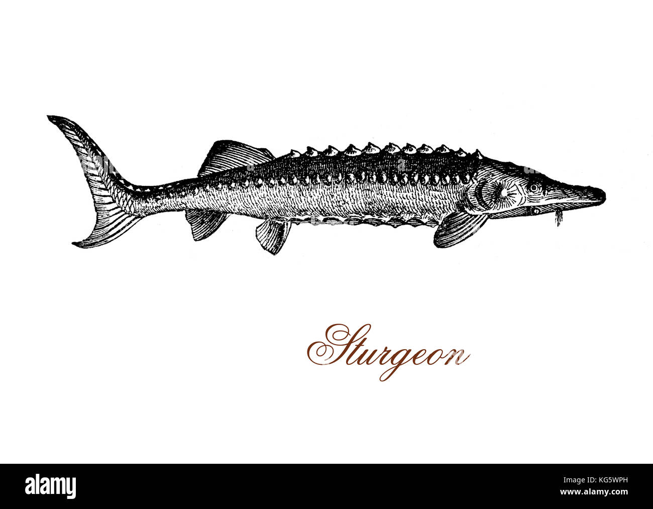 vintage engraving of sturgeon,primitive fish inhabitant of subtropical, temperate and sub-Arctic rivers, lakes and - Stock Image