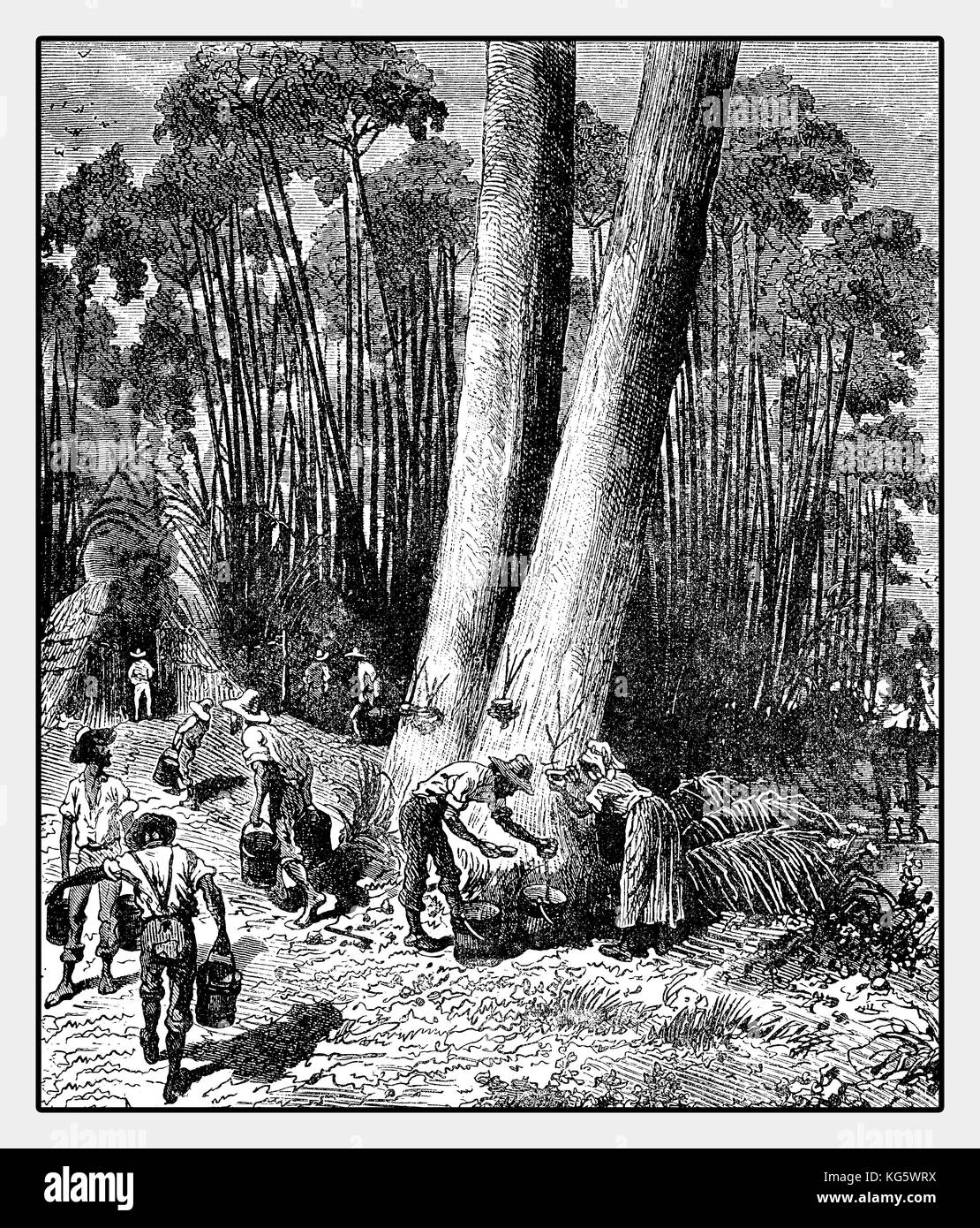 XIX century illustration of latex harvesting from rubber tree in Brazil for caoutchouc production with incisions - Stock Image