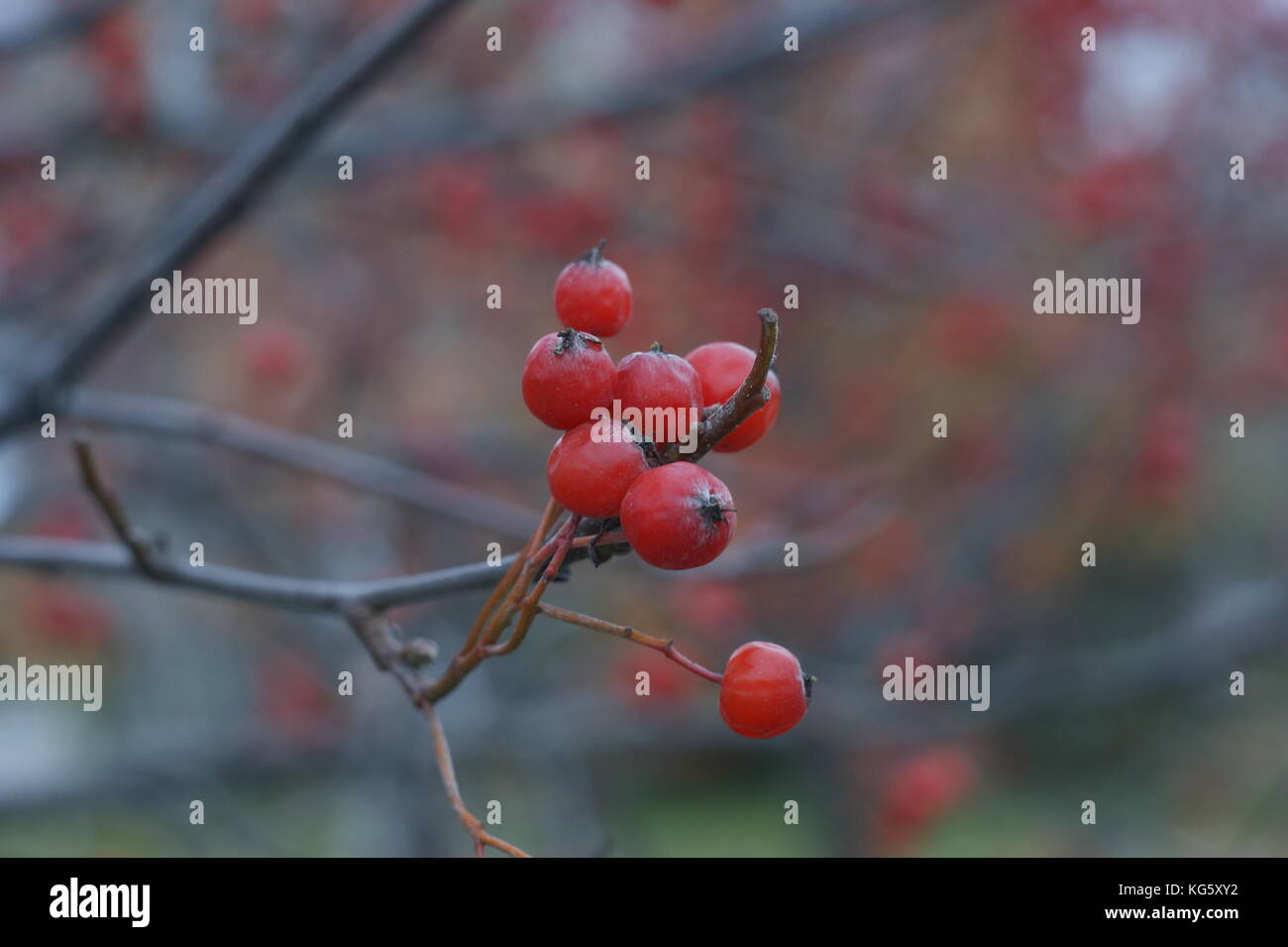 cranberries - Stock Image