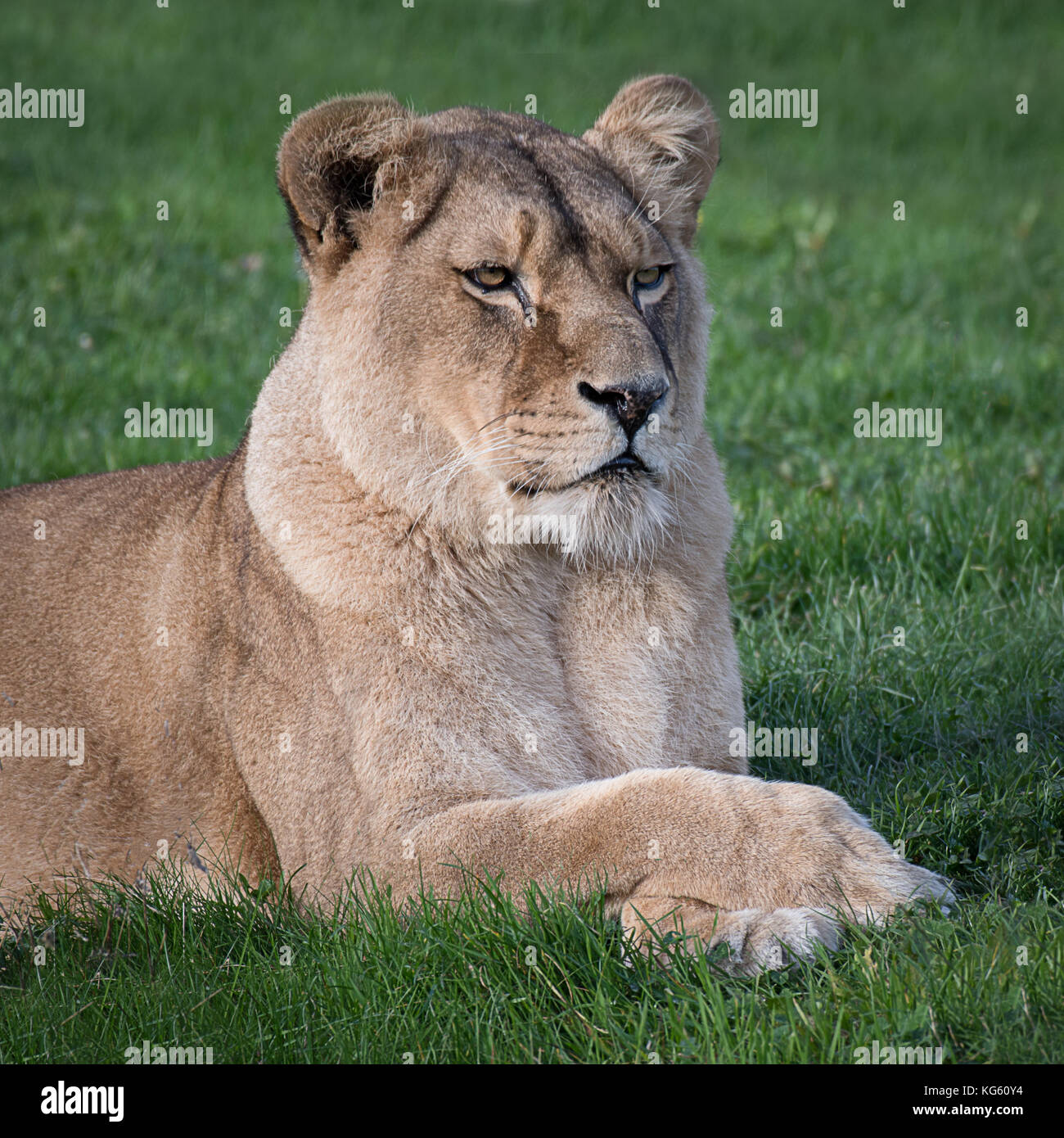 A close head portrait in square format of a lioness lying down on grass looking alert to the right - Stock Image