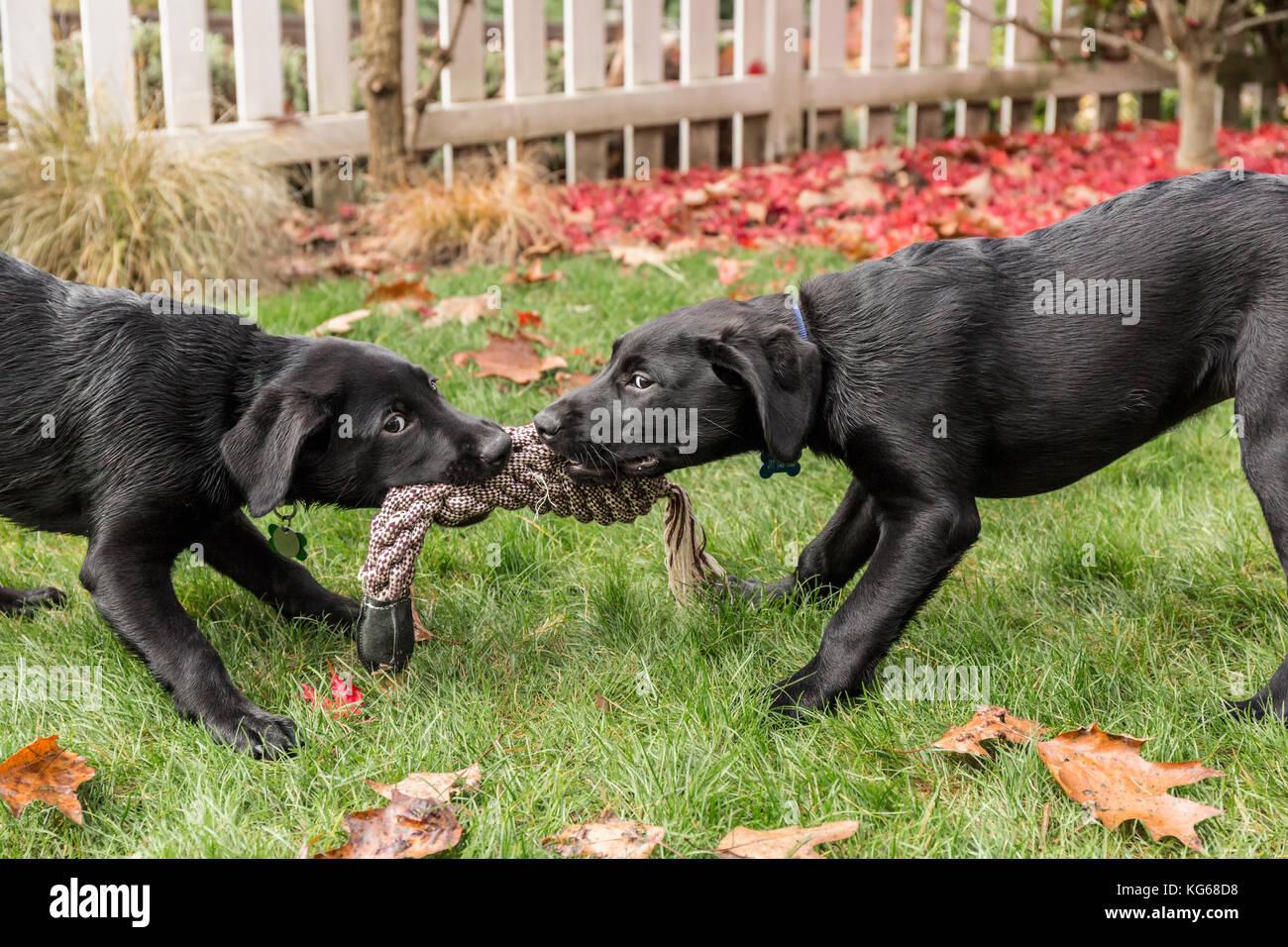 Shadow And Baxtor Three Month Old Black Labrador Retriever Stock