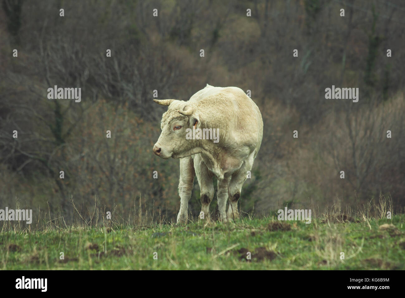 Shaved cow in the nature, green meadow - Stock Image