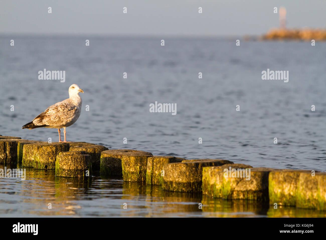 auf Buhne sitzende Möwe Insel Rügen Ostsee - Stock Image