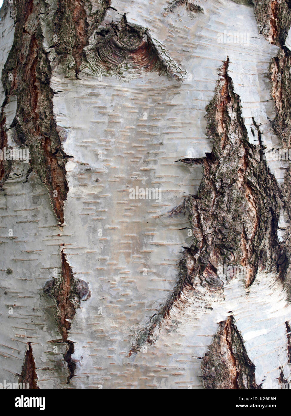 Old birch tree bark surface texture close up - Stock Image