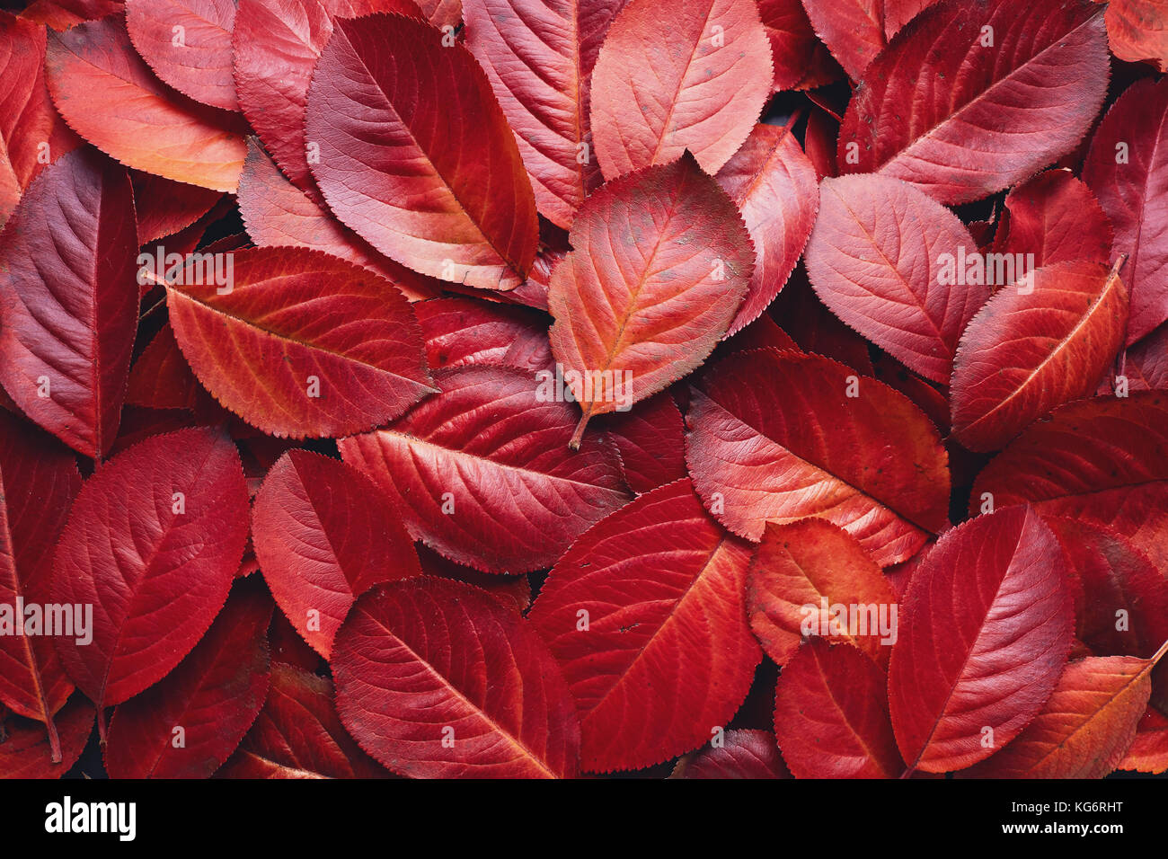 Closeup of Red Aronia Autumn leaves background texture. Red Autumn Leaves Background. Aronia melanocarpa (Chokeberry) - Stock Image