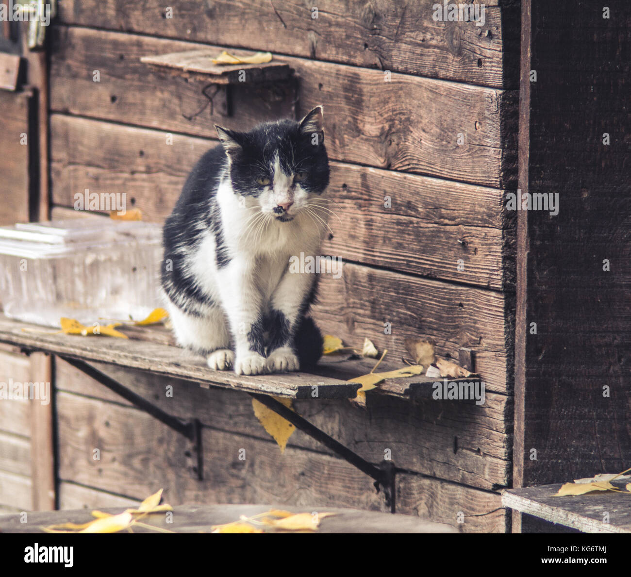 Old stray cat sitting in front of the old cottage on Great War Island, Belgrade, Serbia, looking forward to autumn Stock Photo
