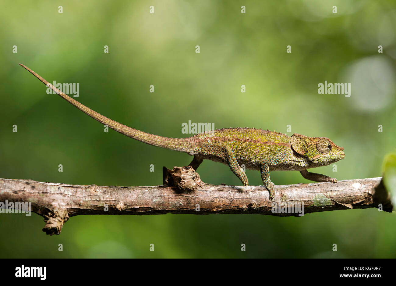 Cryptic Chameleon (Calumma crypticus), (Chameleonidae), endemic to Madagascar, Anjozorobe Nationalpark, Madagascar - Stock Image