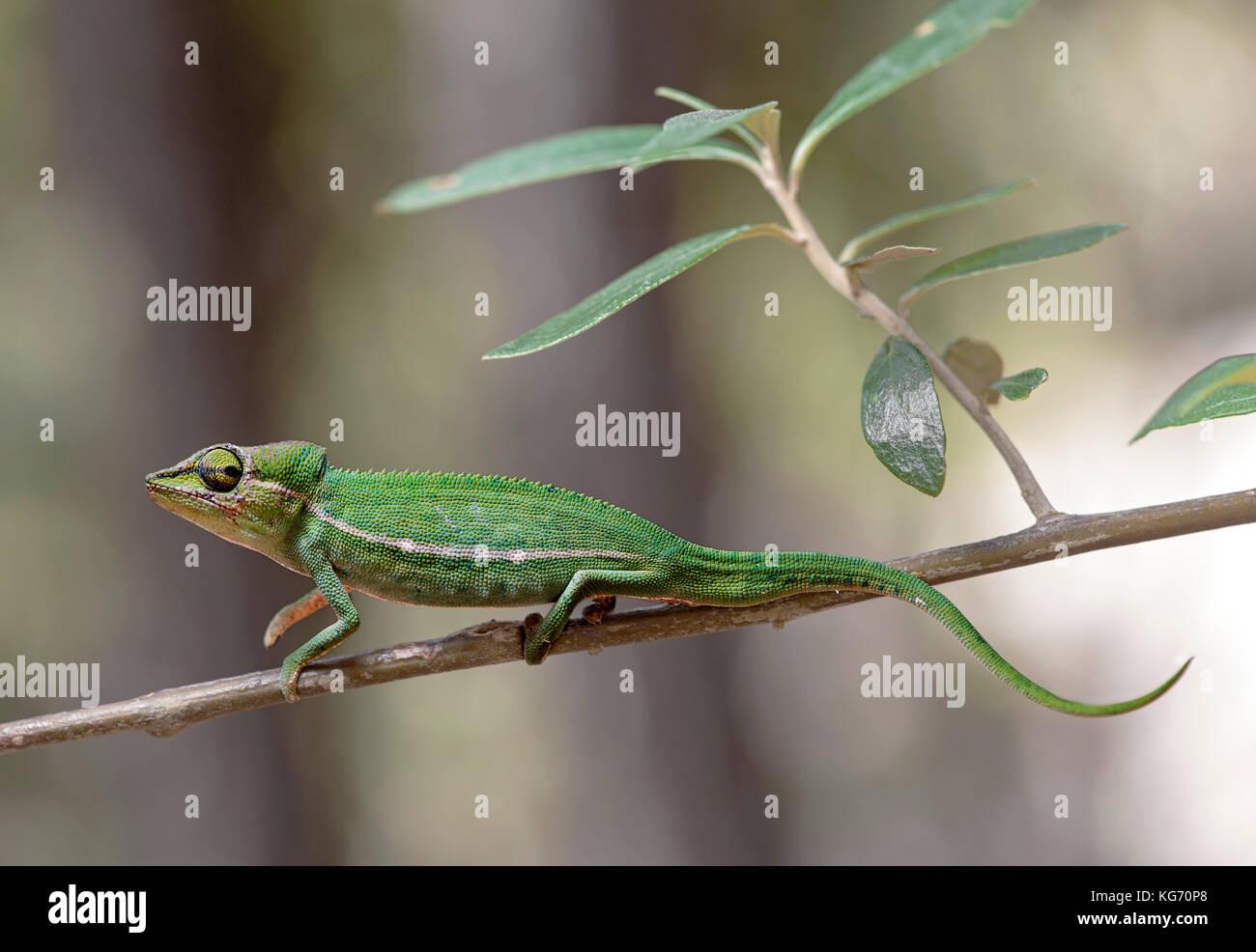 Short-nosed chameleon Calumma gastrotaenia, Anjozorobe Nationalpark, Madagascar - Stock Image