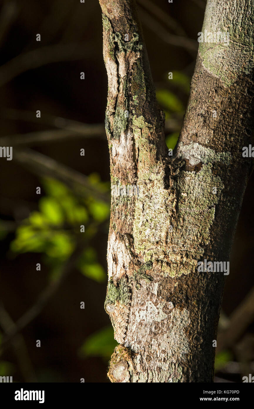 Mossy leaf-tailed gecko (Uroplatus sikorae) imitating colour and structure of a tree trunk, Andasibe National Park, - Stock Image