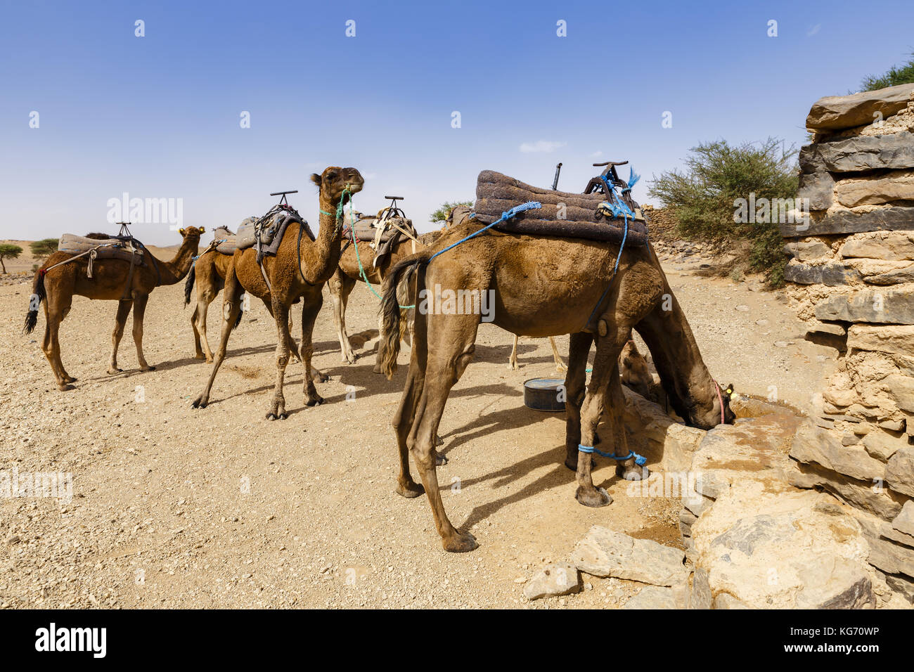camels drink water - Stock Image