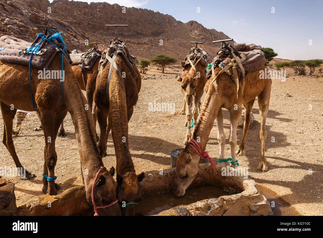 camels drink water from the well - Stock Image