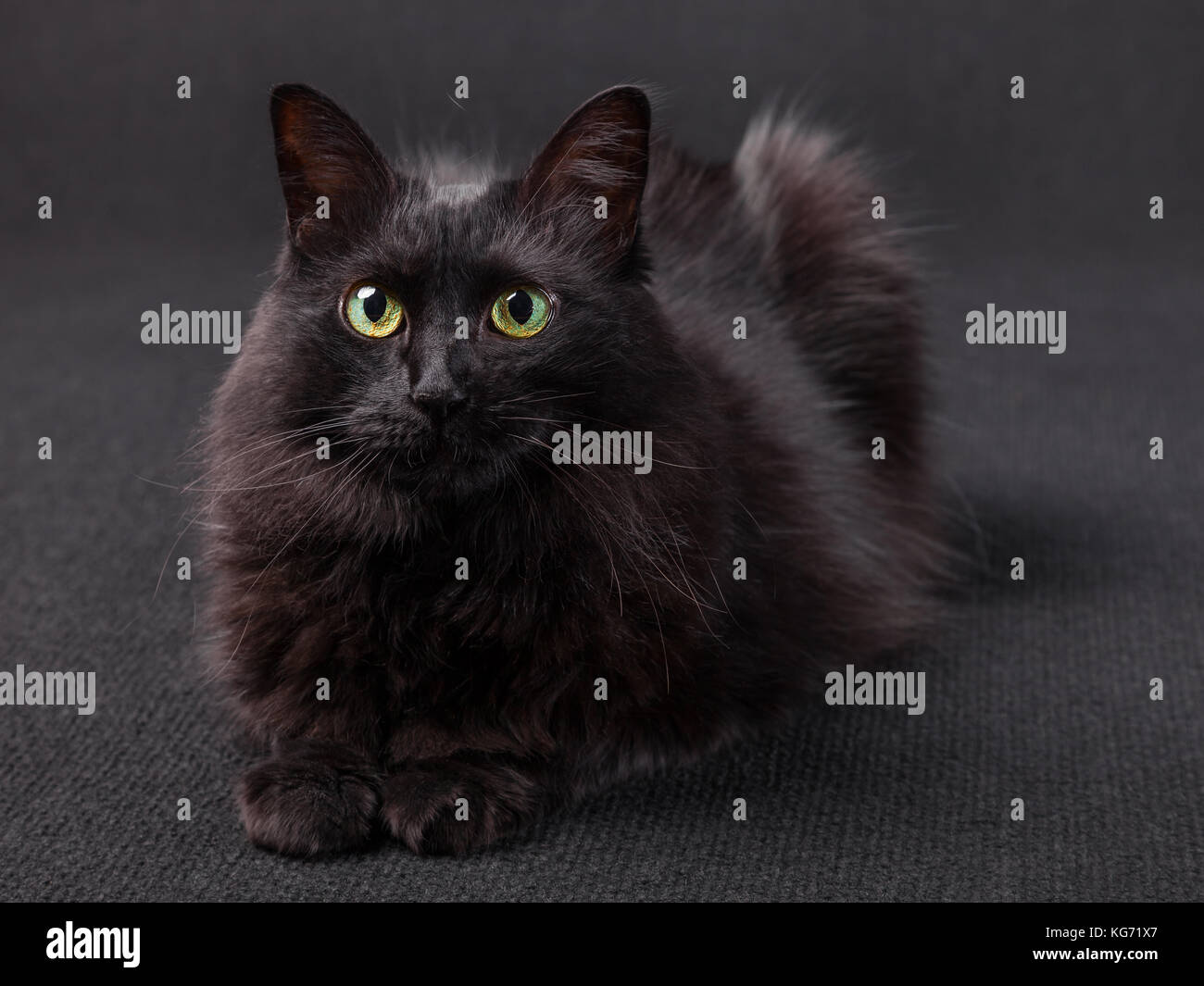 Black cat lying down facing the camera on a dark background. Long hair Turkish Angora breed. Adult female. - Stock Image