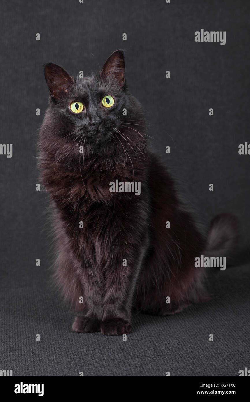 Cute black cat sitting, facing and looking at the camera acting curious on a dark background. Long hair Turkish - Stock Image