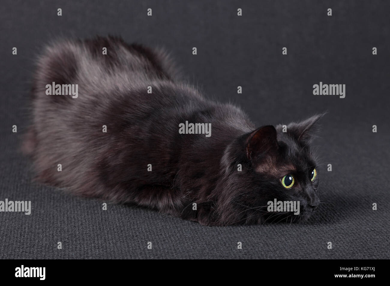Playful black cat on a dark background, lying down in a hunting position and preparing a jump to attack. Long hair - Stock Image