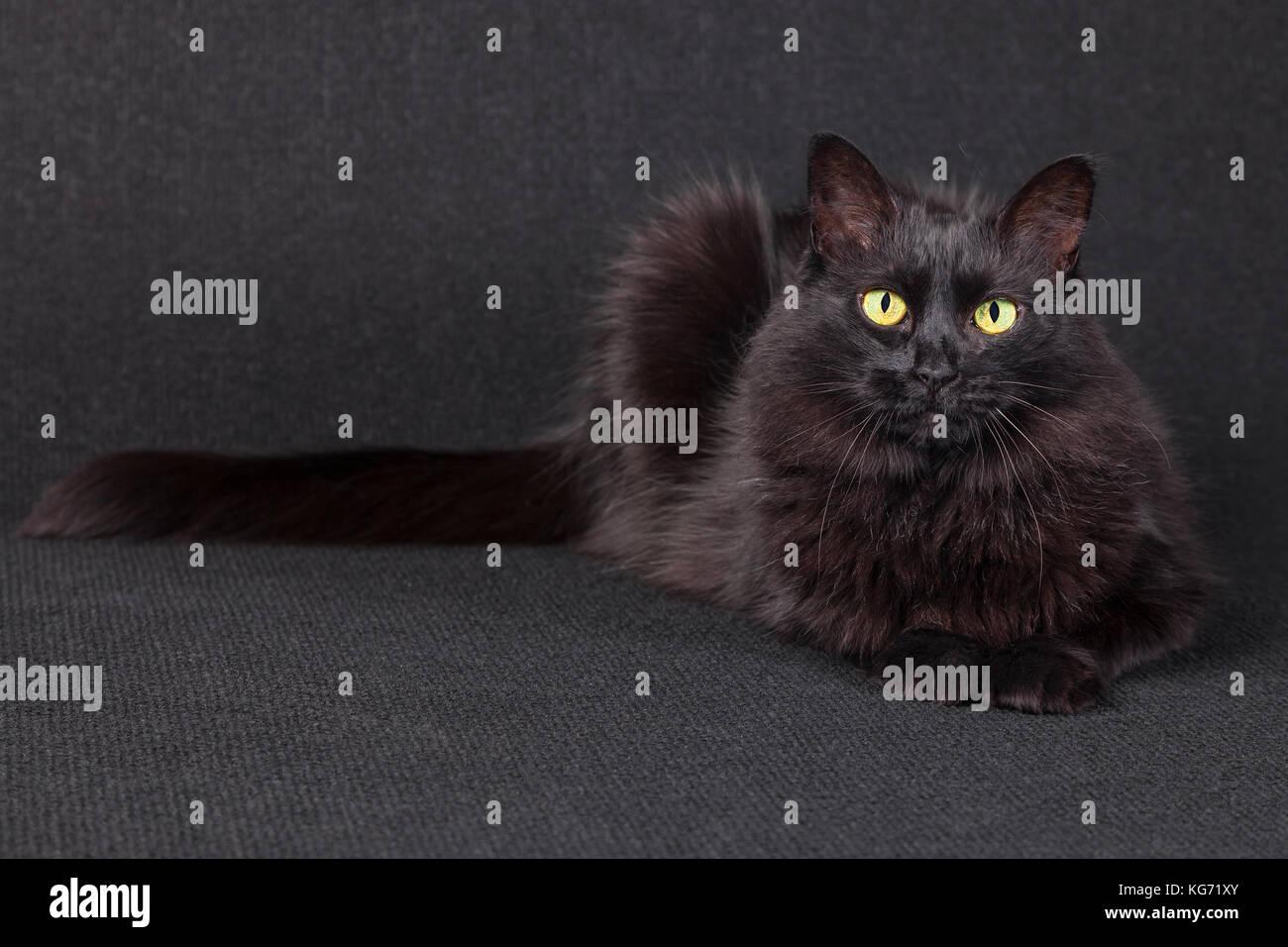 Sleepy black cat lying down facing the camera on a dark background. Long hair Turkish Angora breed. Adult female. - Stock Image