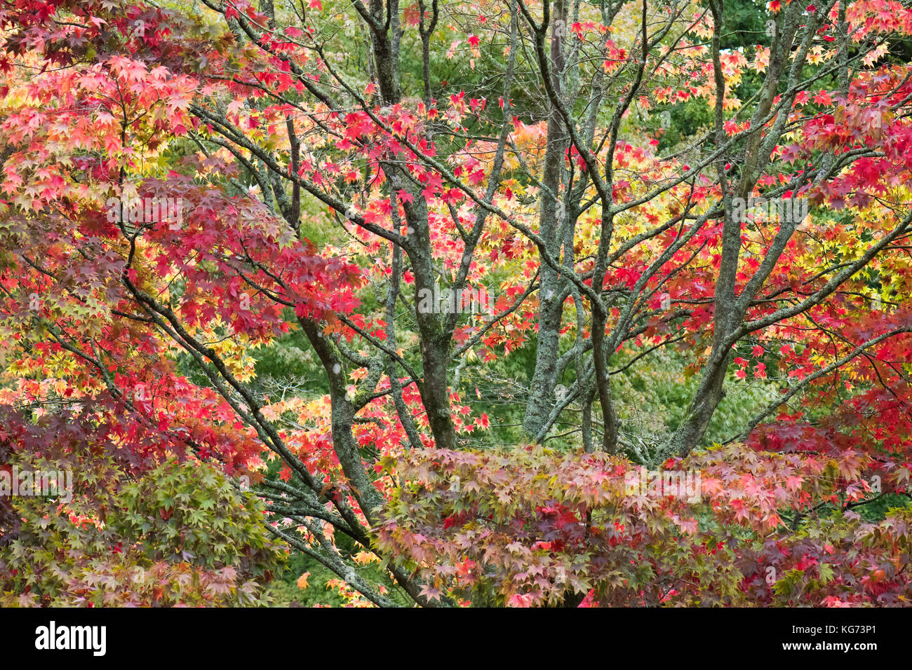 dramatic autumn colours on Acer Palmatum ssp amoenum at Westonbirt Arboretum, Gloucestershire, England, UK - Stock Image