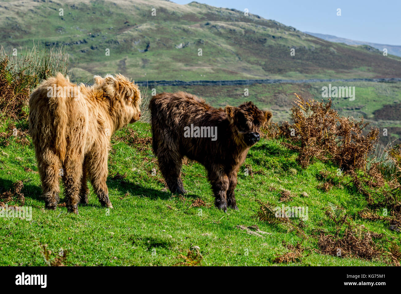Highland Cattle standing in a field near Coniston in the Lake District, Cumbria - Stock Image