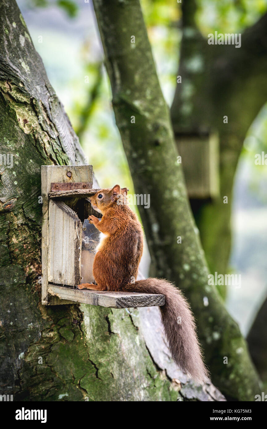 An intelligent Red Squirrel opening a feeder to get at the nuts inside (Cotswolds, UK) - Stock Image