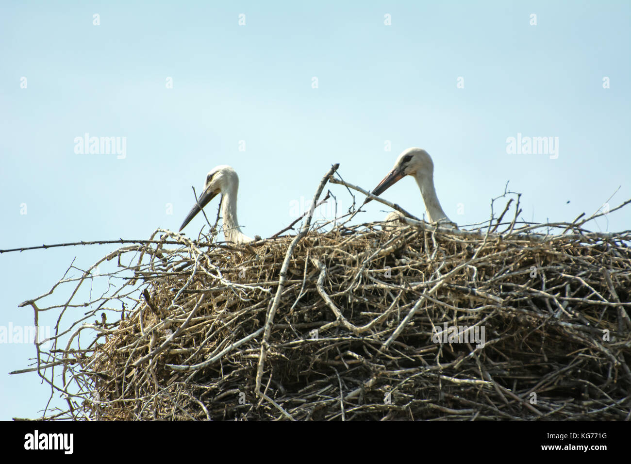 Two young storks sitting in their nest - closeup only with heads and neck visible - Stock Image
