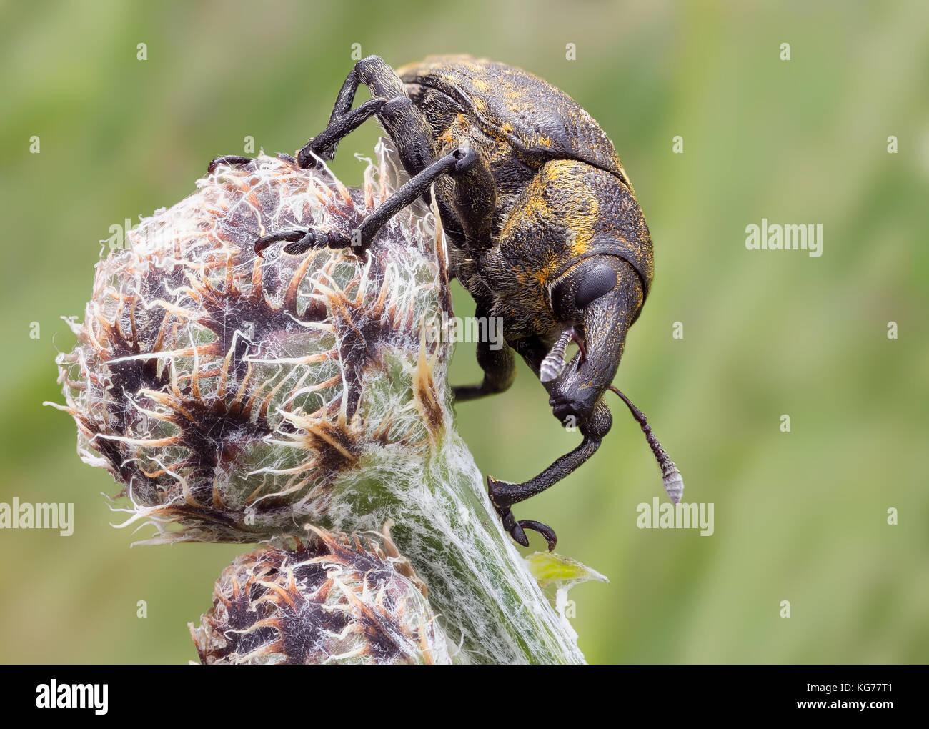 Rüsselkäfer / Bug Beetle  weevil  snout beetle A specimen of Involvulus caeruleus, tooth-nosed Black Vine - Stock Image