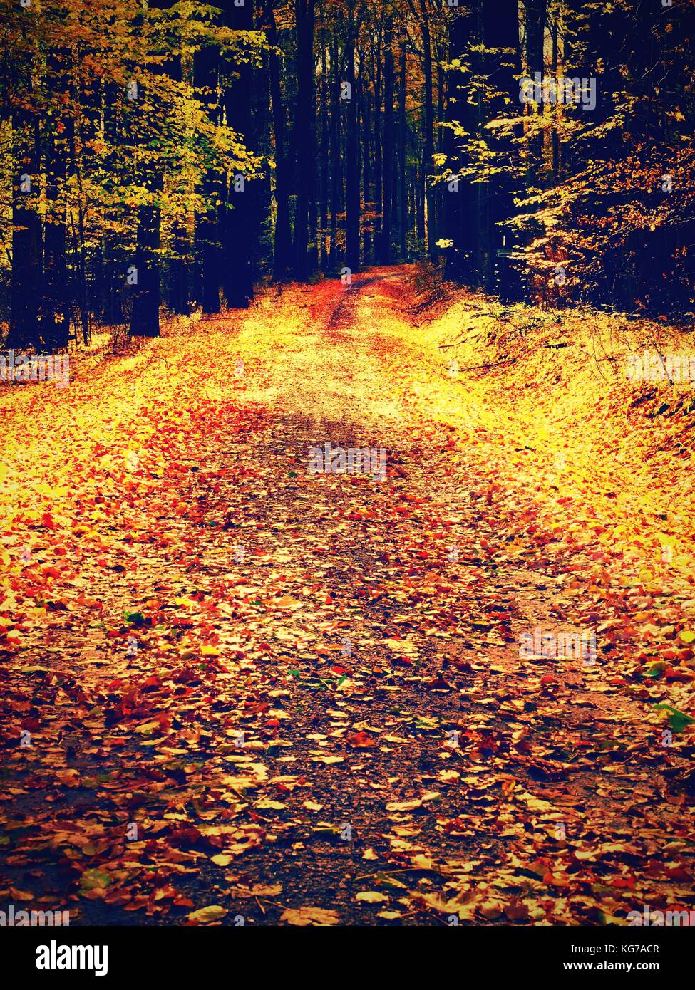 Yellow Orange Autumn Forest. Autumn forest with ground covered with orange and yellow leaves carpet. Sun rays shinning - Stock Image