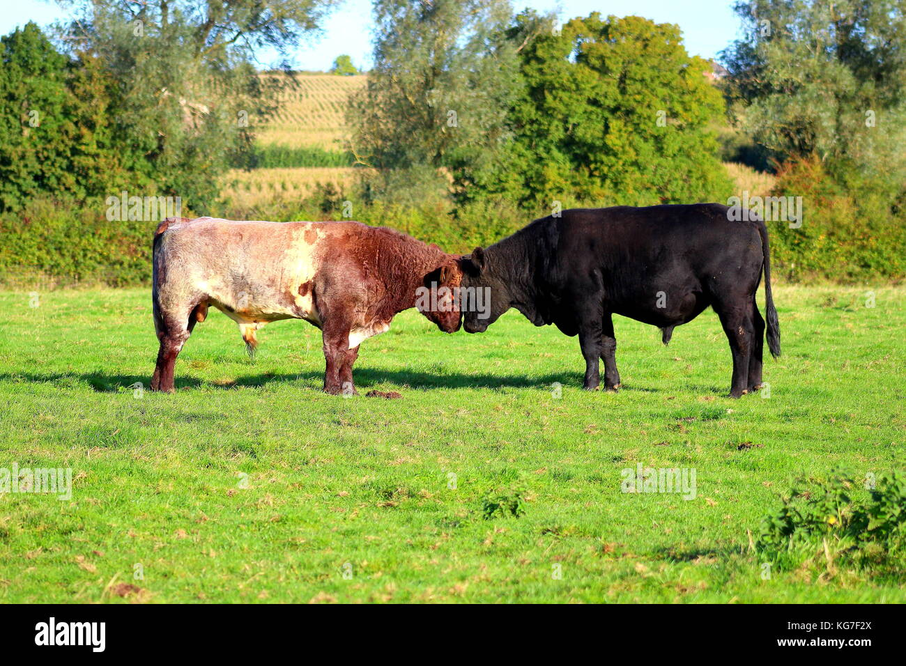 shorthorn and angus bulls fighting for dominance - Stock Image