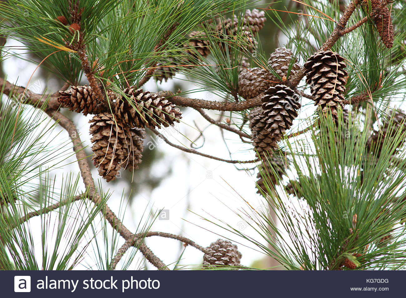 Fall pinecones in the morning light in Arkansas - Stock Image
