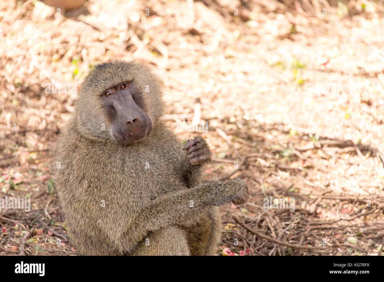 Olive baboon sitting in the shade eating nuts - Stock Image