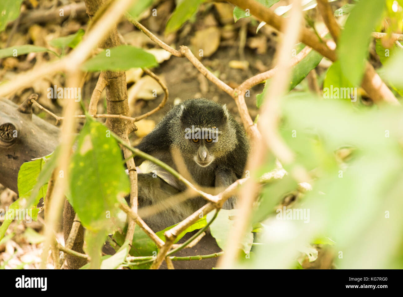 Blue Monkey peering out of the undergrowth Lake Manyara, Tanzania - Stock Image