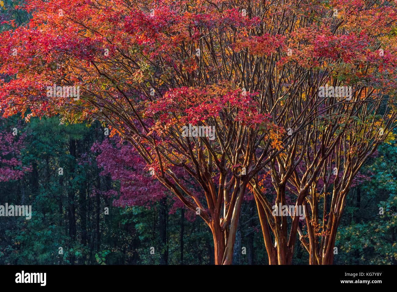 Colorful Autumn trees on vivid display at sunset in Metro Atlanta, Georgia, USA. Stock Photo
