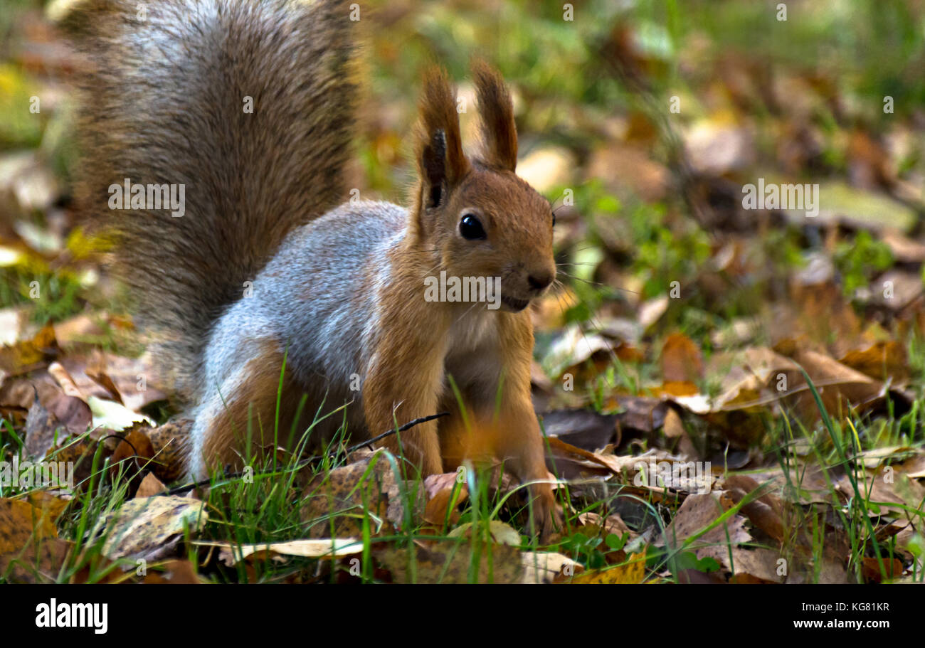 Red squirrel, grey winter coat, jumping in the autumn park, green grass, yellow leaves - Stock Image