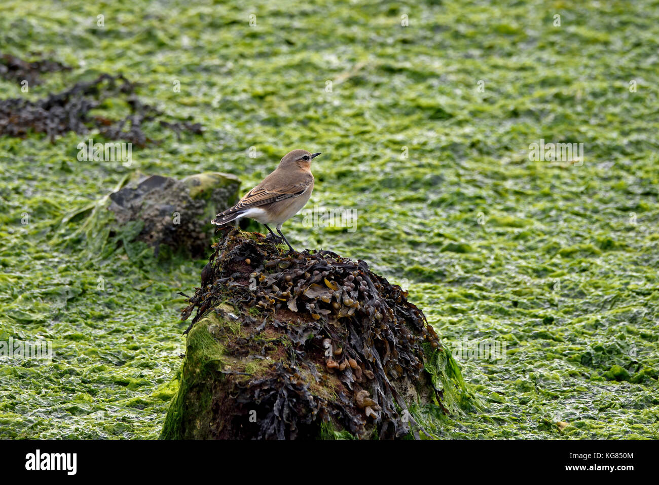 A female Northern Wheatear (Oenanthe oenanthe) perched on a seaweed covered rock in Langstone Harbour, Southern Stock Photo